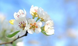apple-blossoms-1368187340